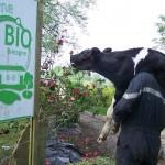 Le fermier ramène un veau nouveau-né sur son dos