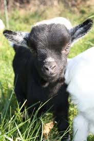 Chèvre Choupik